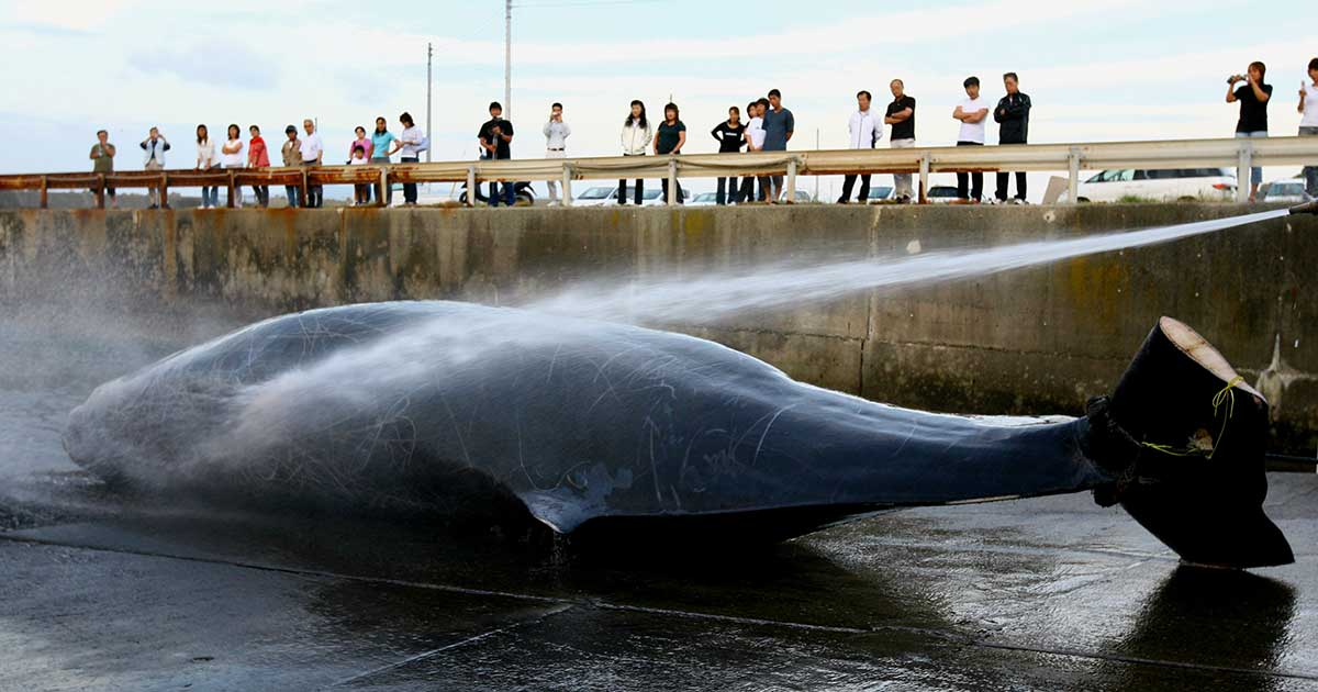 japan killing whales pacific