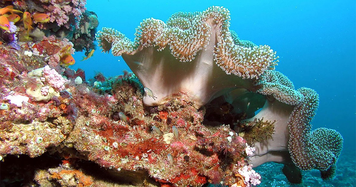 coral reefs houses diverse community of species Some types of coral are abundant across reefs coral reefs more diverse, and fragile, than previously thought may be part of a completely different species.